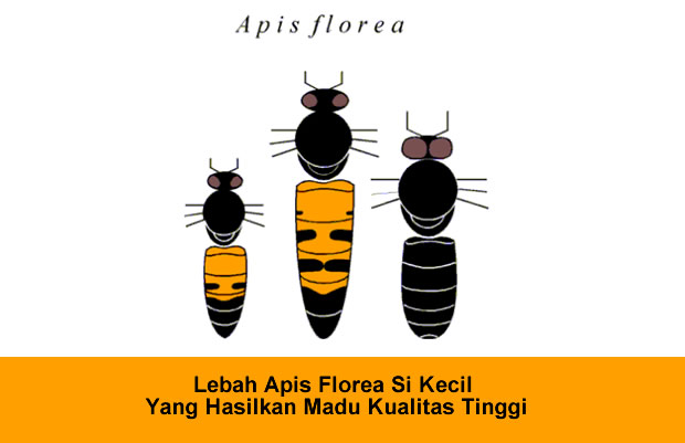 Lebah apis floreamerupakan spesies lebah madu yang memiliki ukuran tubuh yang kecil, habitat hidupnya di daerah payau dan dalam membuat sarang hanya sebesar kepalan tangan dengan satu sisiran sarang yang berukuran sekitar 10 cm, sehingga hasil madu dan lilin lebah sangat sedikit.