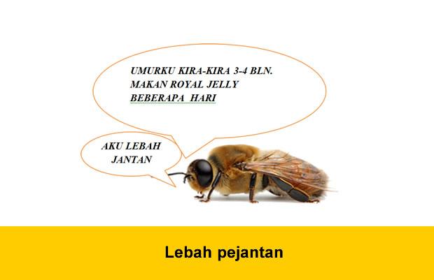 Lebah pejantan