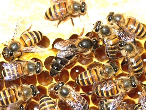 lebah apis cerana