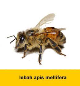 lebah apis mellifera